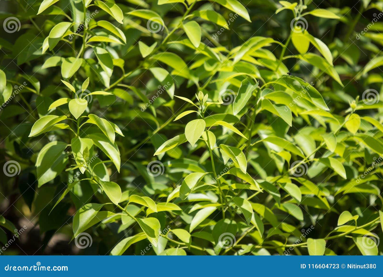 Giovane foglia dell albero di cinnamomum camphora