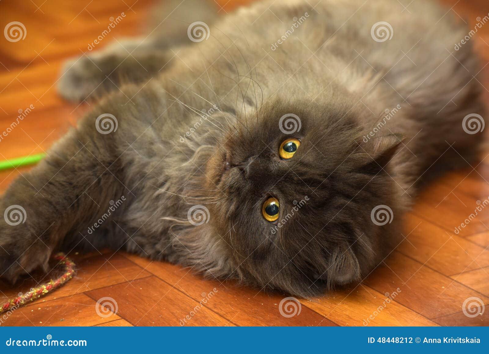 Giovane gatto lanuginoso nero