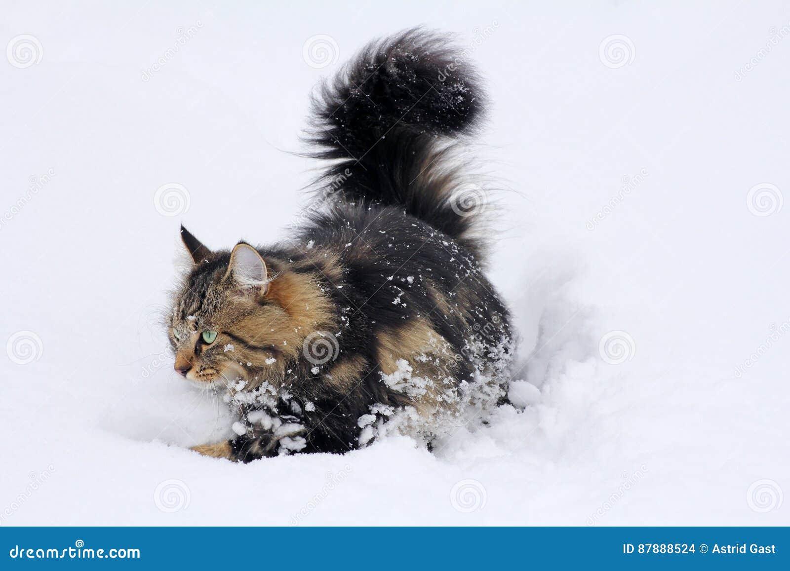 Giovane gatto norvegese della foresta in neve profonda for Gatto della foresta norvegese