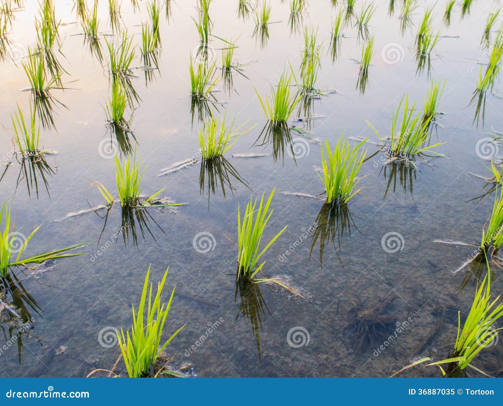 Download Giovane Germoglio Del Riso Pronto Alla Crescita Nel Riso Immagine Stock - Immagine di fresco, farmland: 36887035