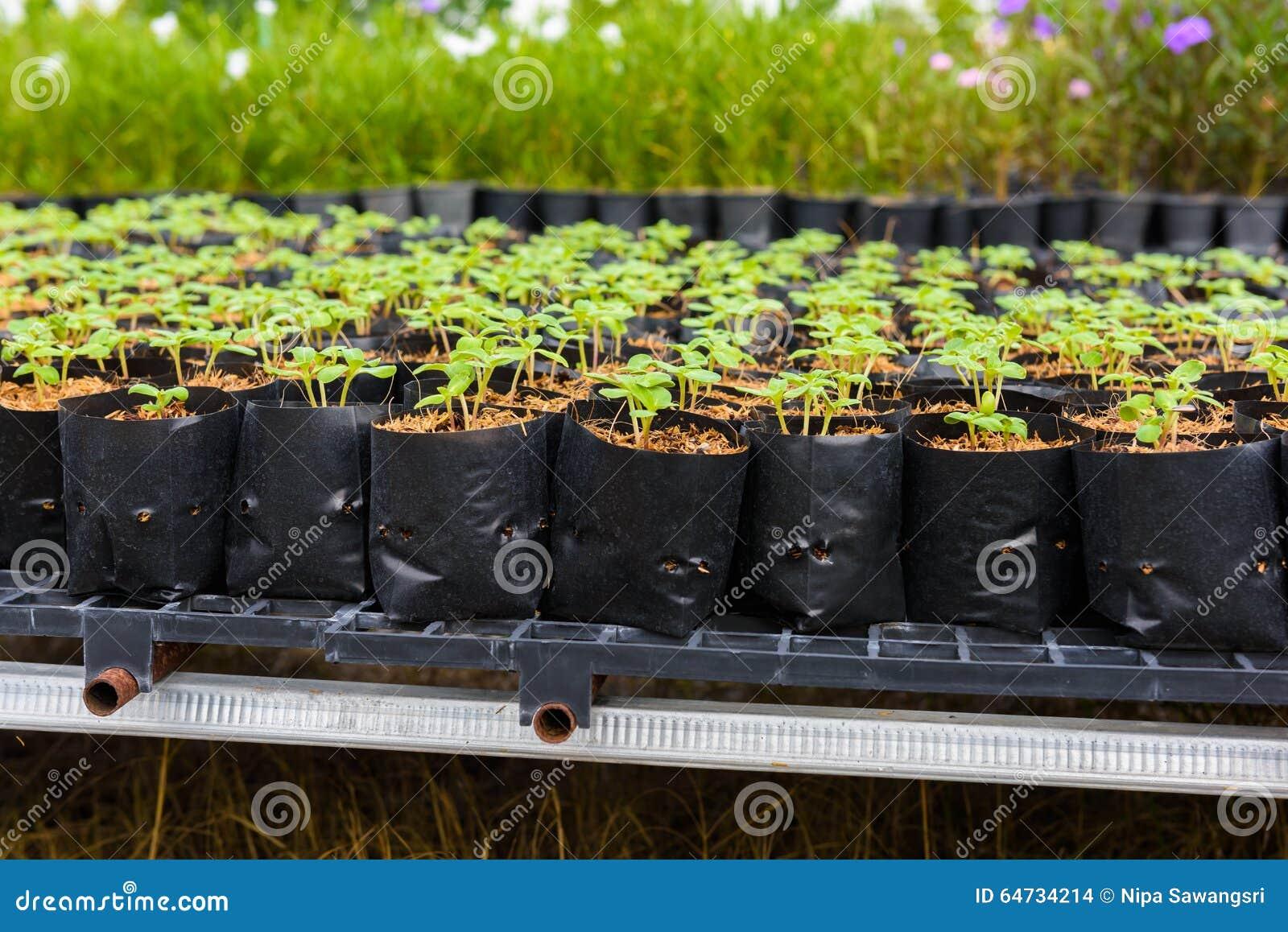 Giovane germoglio verde del girasole