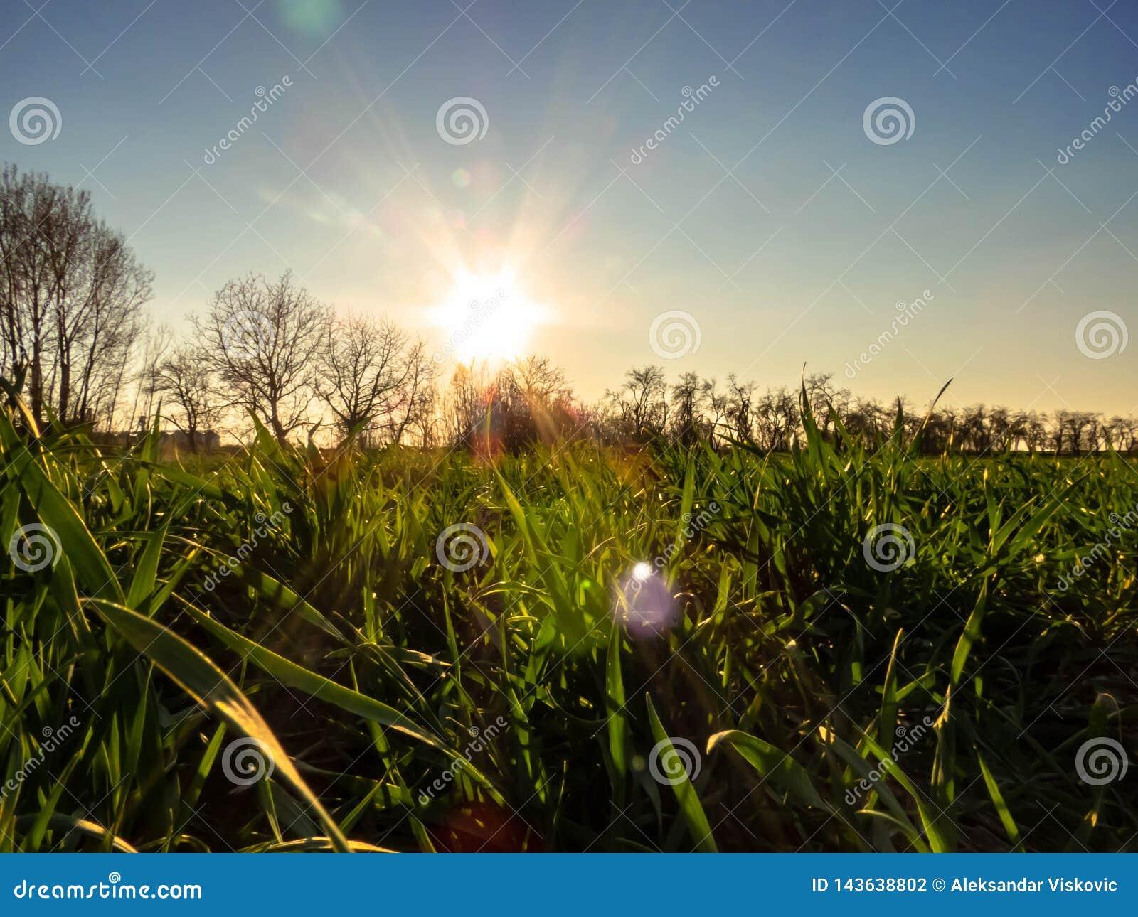 Giovane giacimento di grano in primavera
