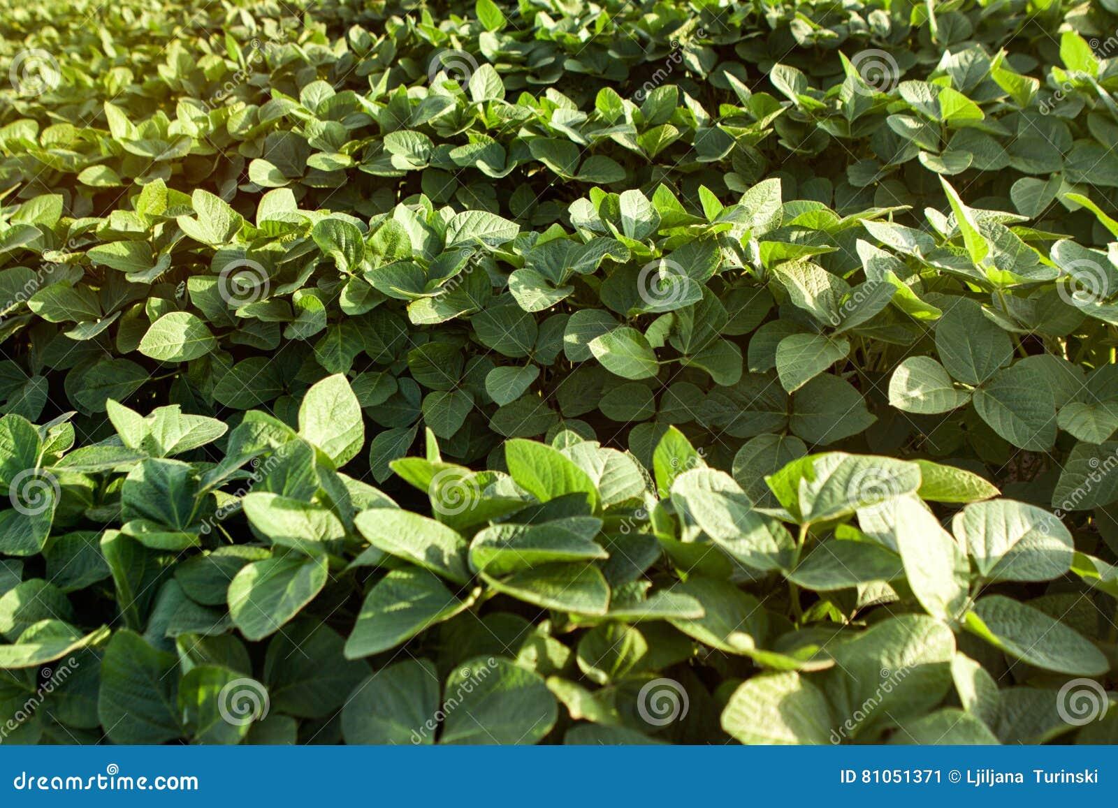 Giovane giacimento sano della soia