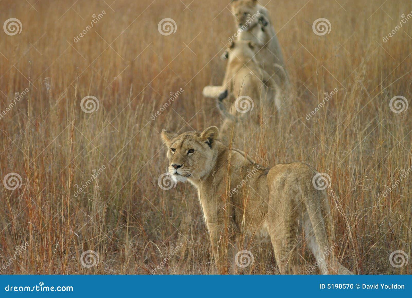 Giovane gioco dei leoni