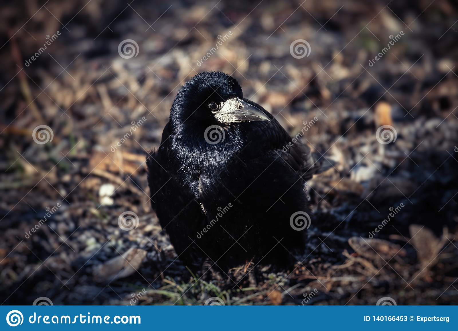 Giovane inverno nero LIFE-Nature freddo del corvo
