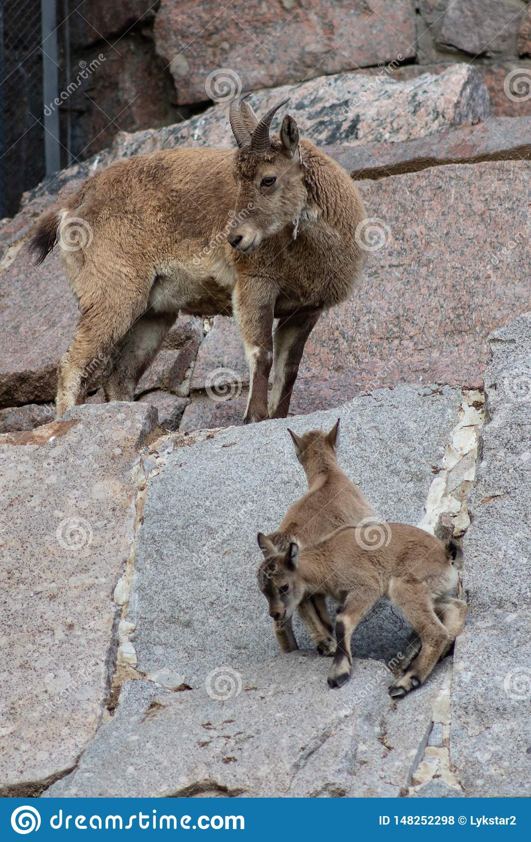 Giovane maschio caucasico orientale del tur sulla pietra Nome latino - cylindricornis che della capra il bambino del giro caucasi