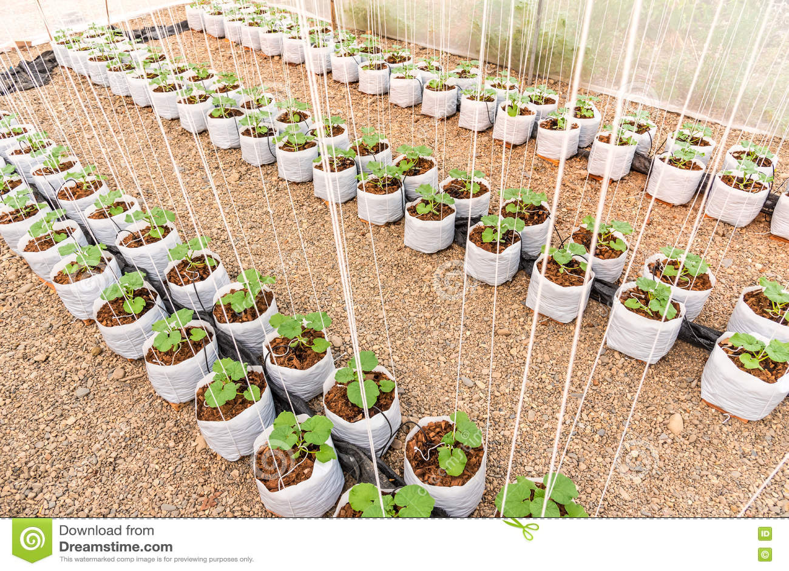 Giovane pianta del melone nel sacchetto di plastica bianco for Pianta di melone