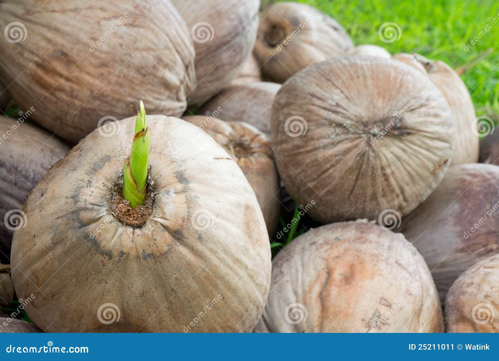 Giovane pianta della noce di cocco immagine stock for Pianta di cocco