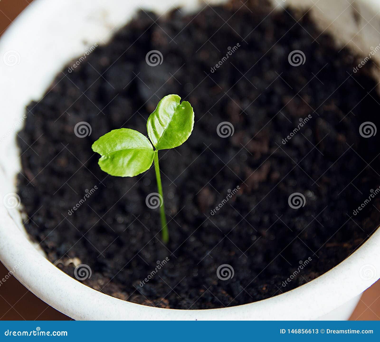Giovane pianta verde germogliare in vaso bianco