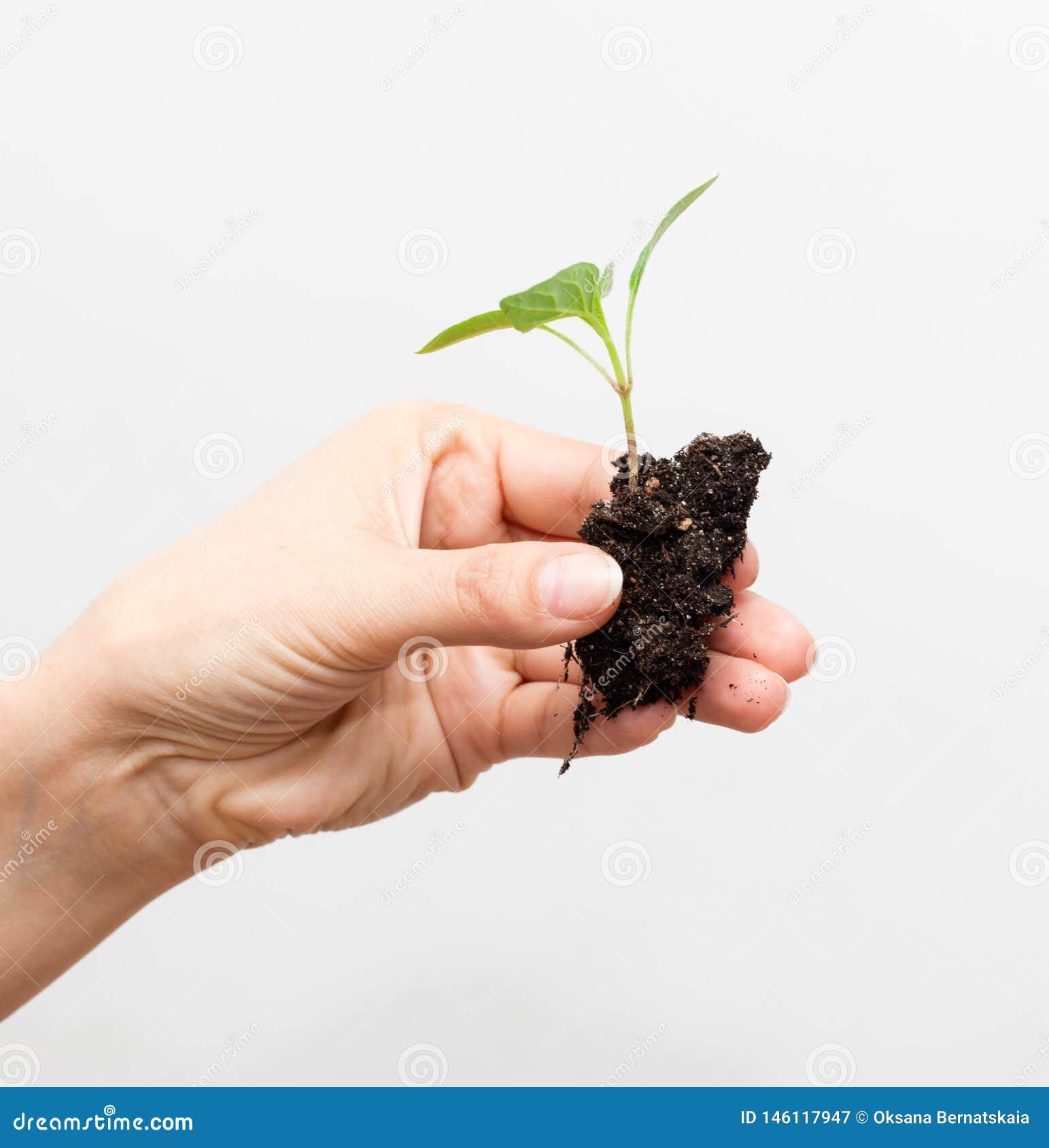 Giovane processo di una pianta su un fondo bianco