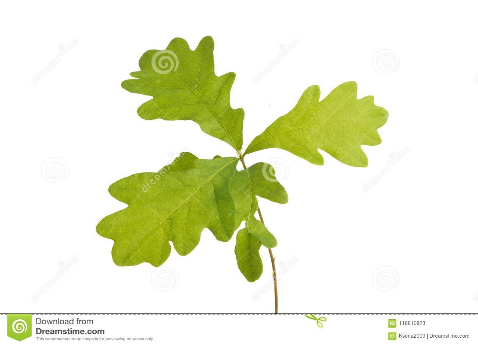 Giovane quercia isolata