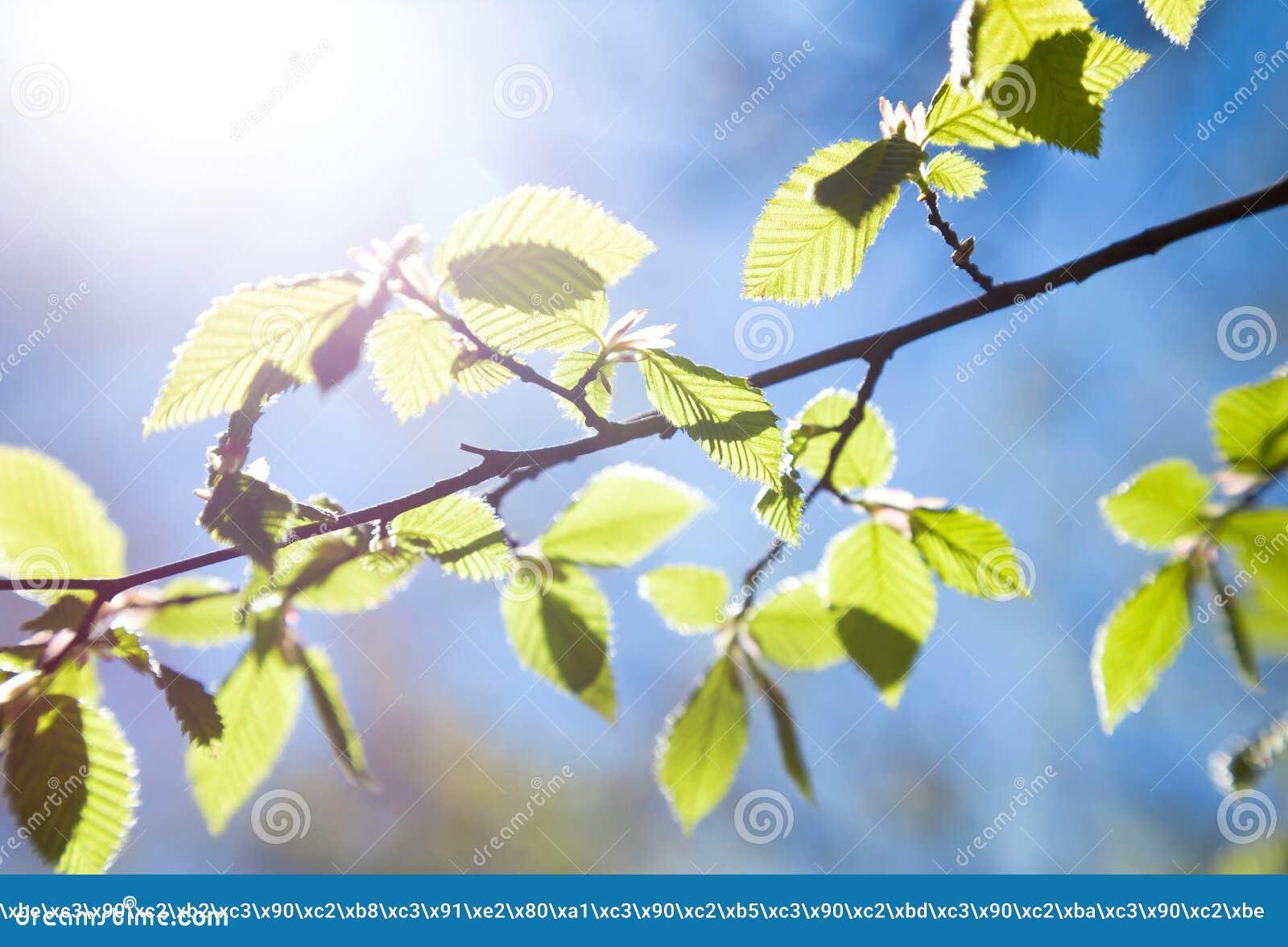 Giovane ramo della betulla in primavera