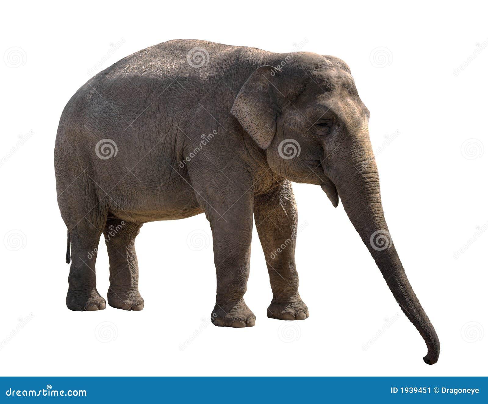 Giovane ritaglio della femmina dell 39 elefante immagine - Elefante foglio di colore dell elefante ...
