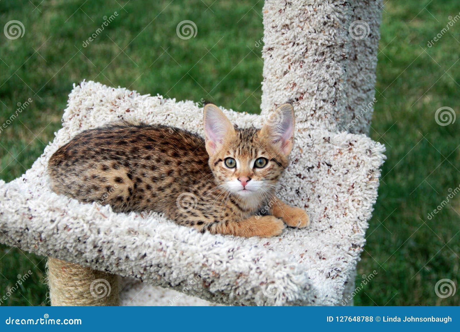 Giovane Serval Savannah Kitten Su Un Albero Del Gatto Fotografia Stock -  Immagine di dorato, razza: 127648788