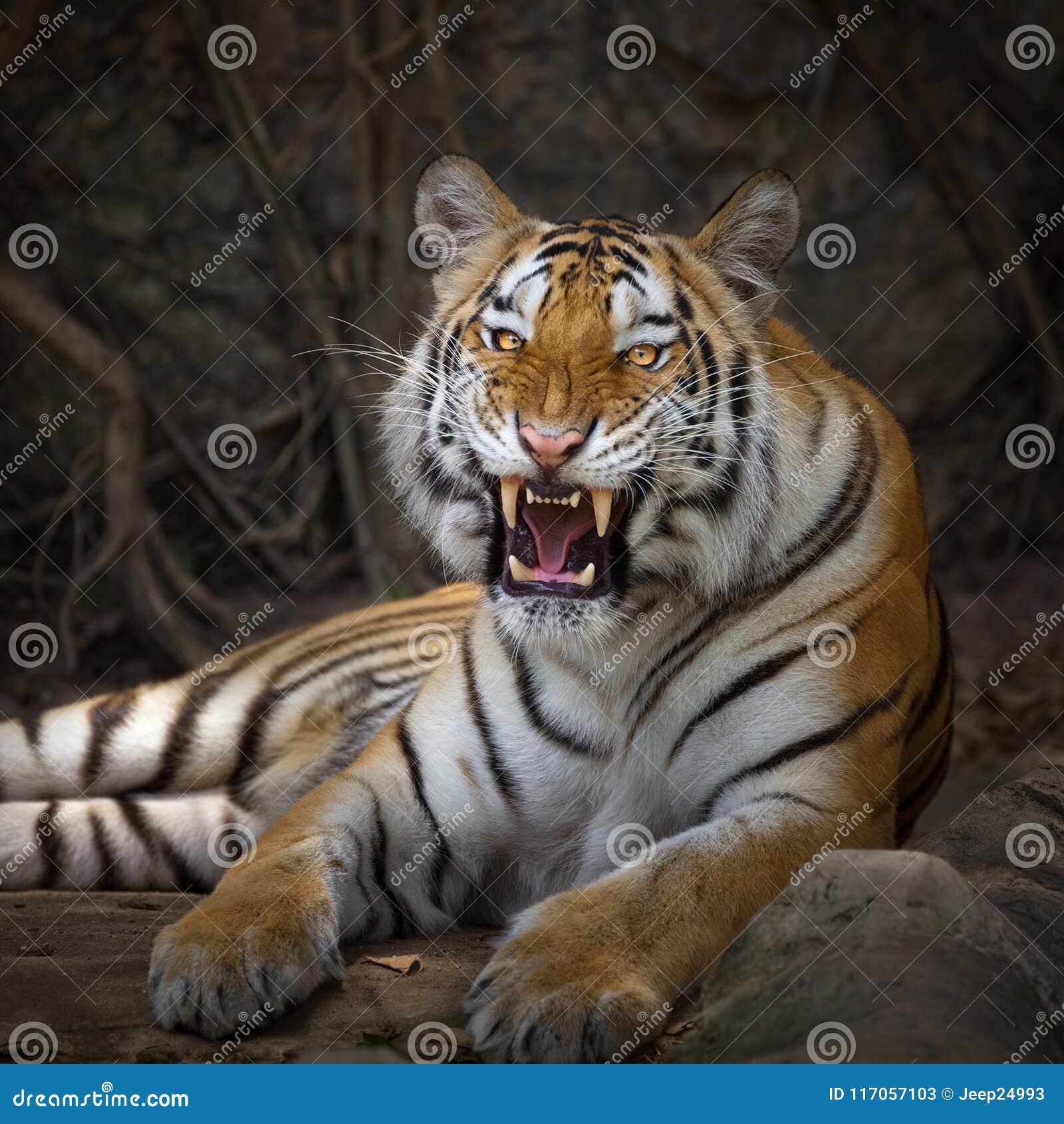 Giovane tigre nell azione del ringhio