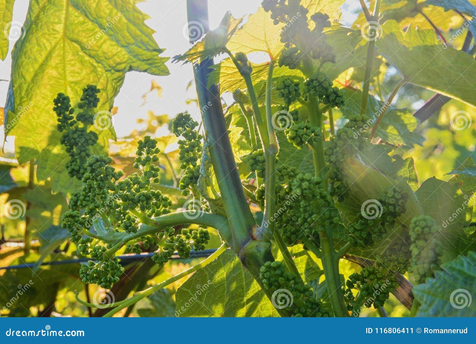 Giovane vigna in wineyard Primo piano della vigna Wineyard alla molla Chiarore di Sun Paesaggio della vigna La vigna rema la a