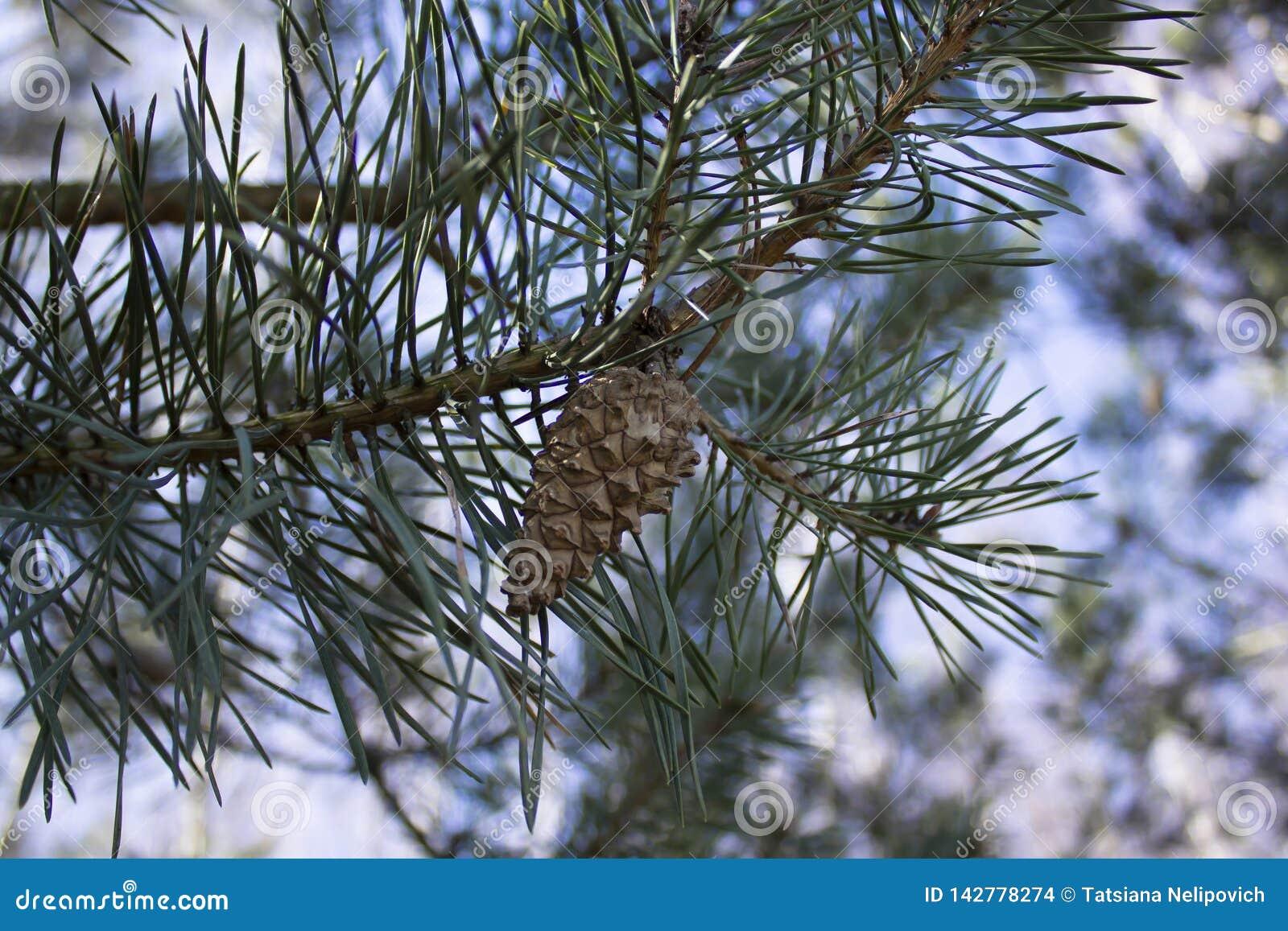 Giovani aghi e un urto su un ramoscello del pino in molla in anticipo