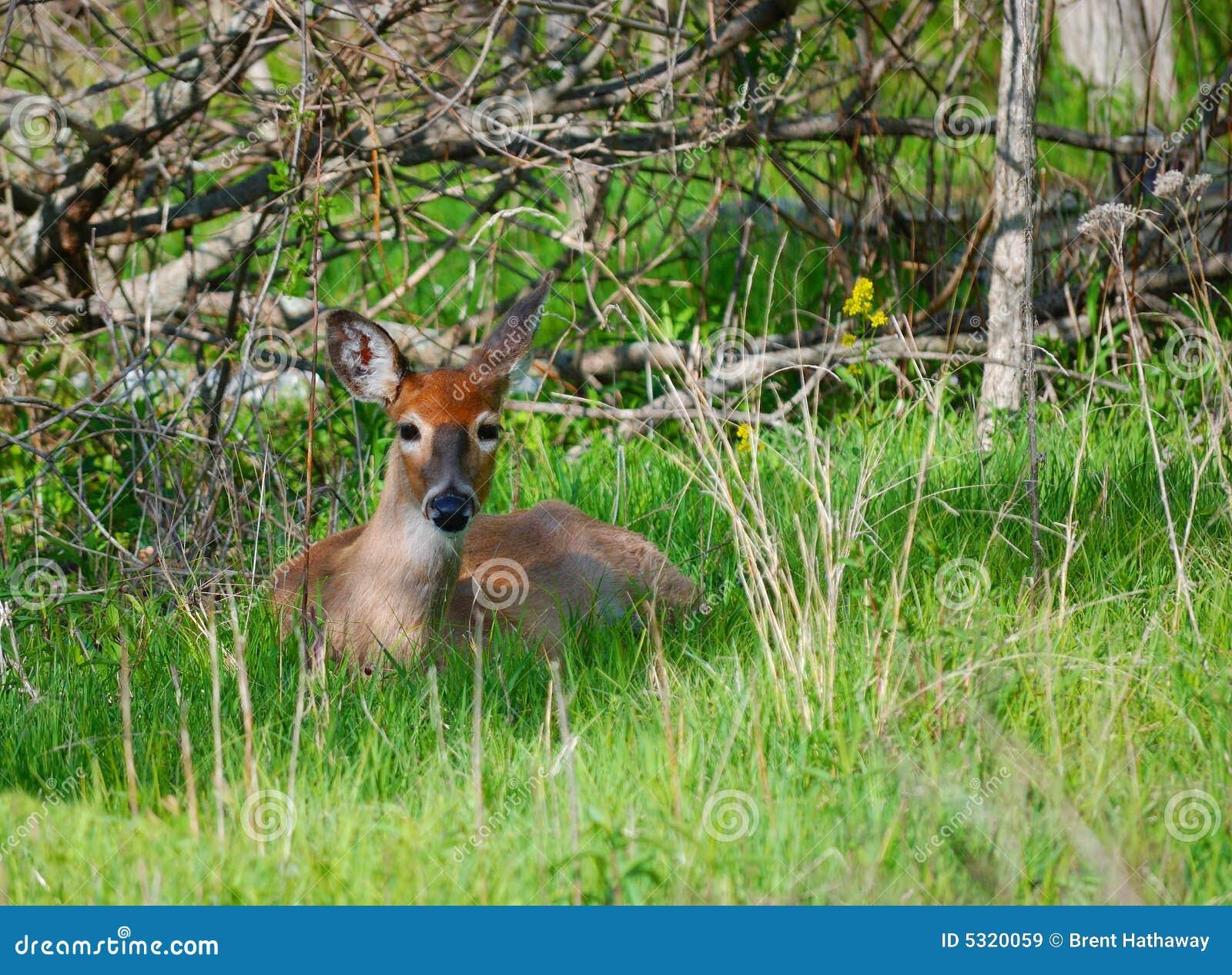 Download Giovani cervi immagine stock. Immagine di caccia, cervi - 5320059