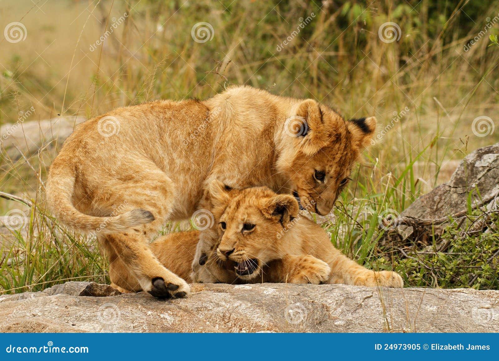 Giovani cubs di leone