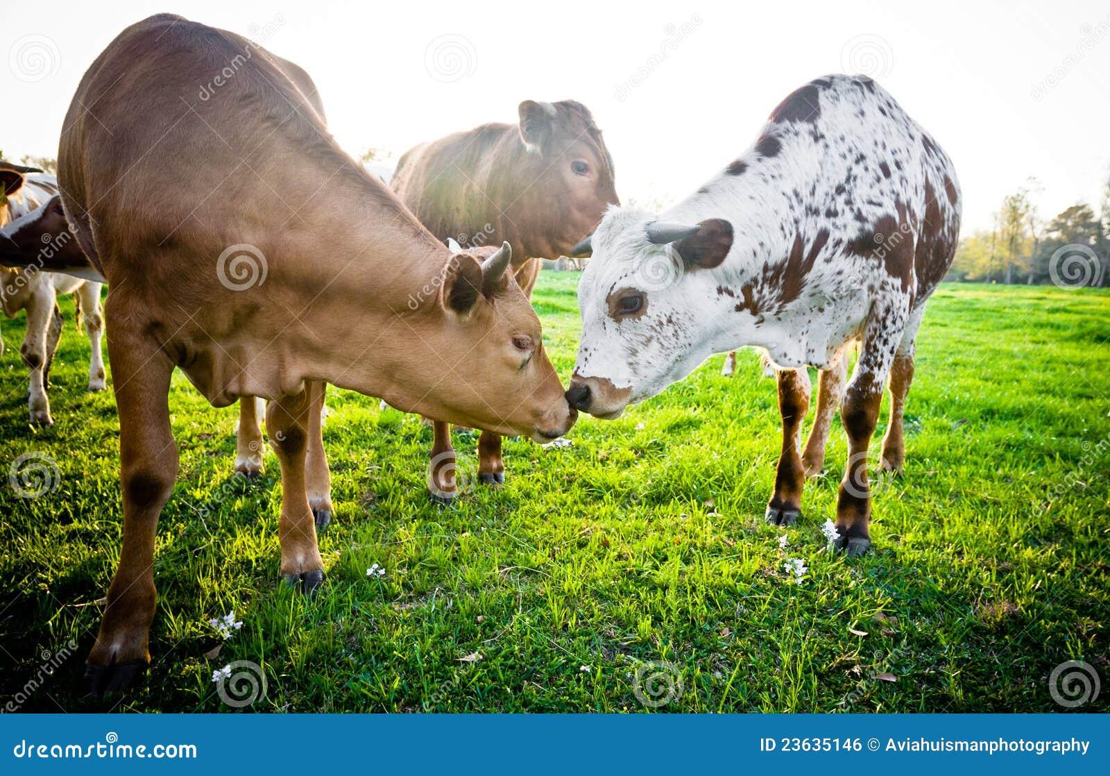 Giovani mucche che toccano i radiatori anteriori