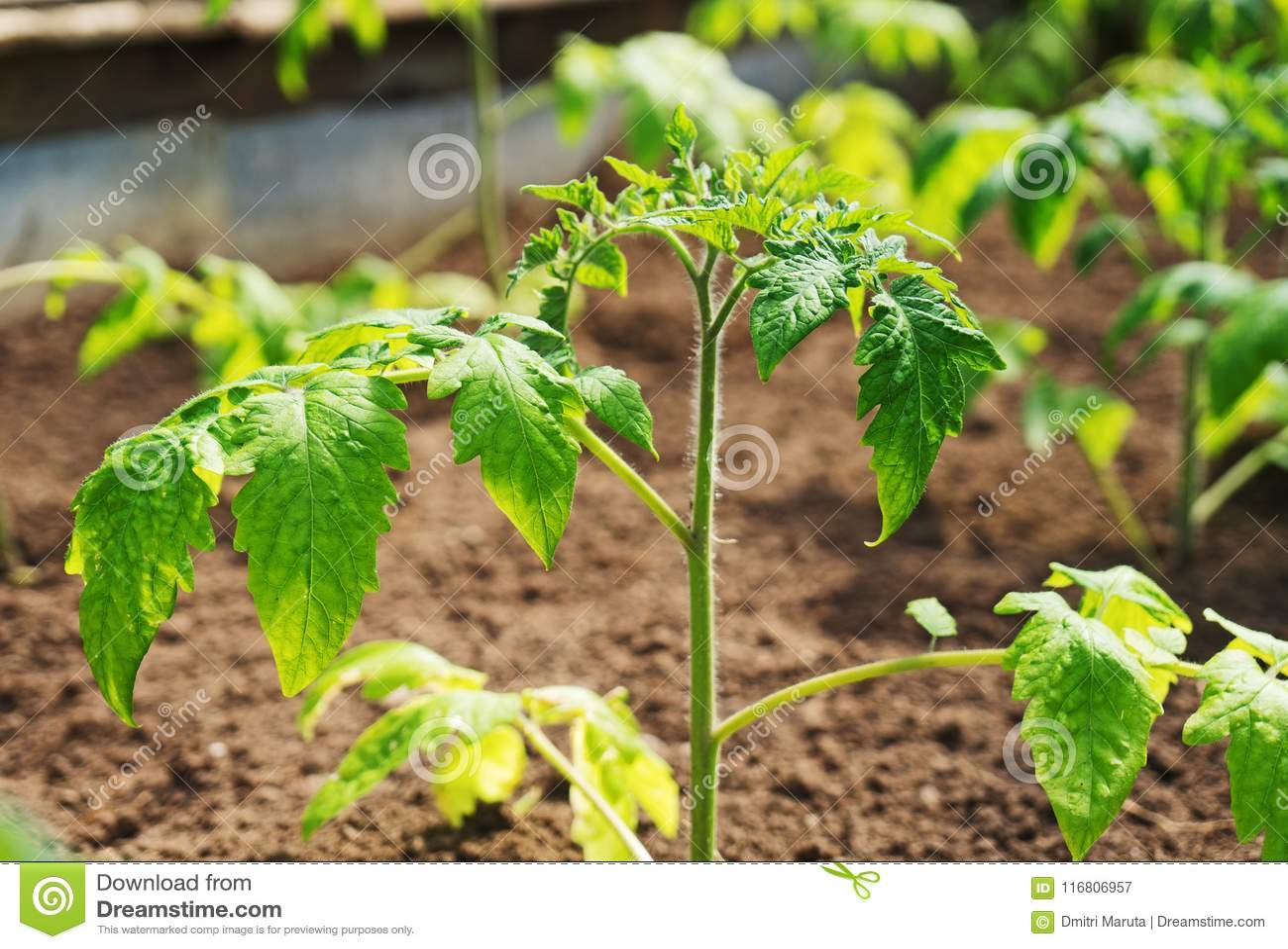 Giovani piante di pomodori