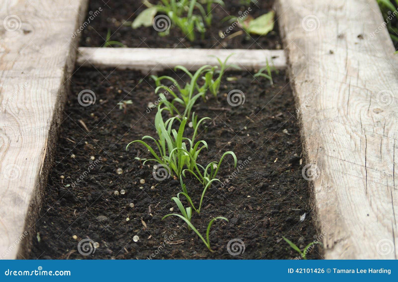 Giovani piante di spinaci in un giardino con il confine di - Piante di giardino ...