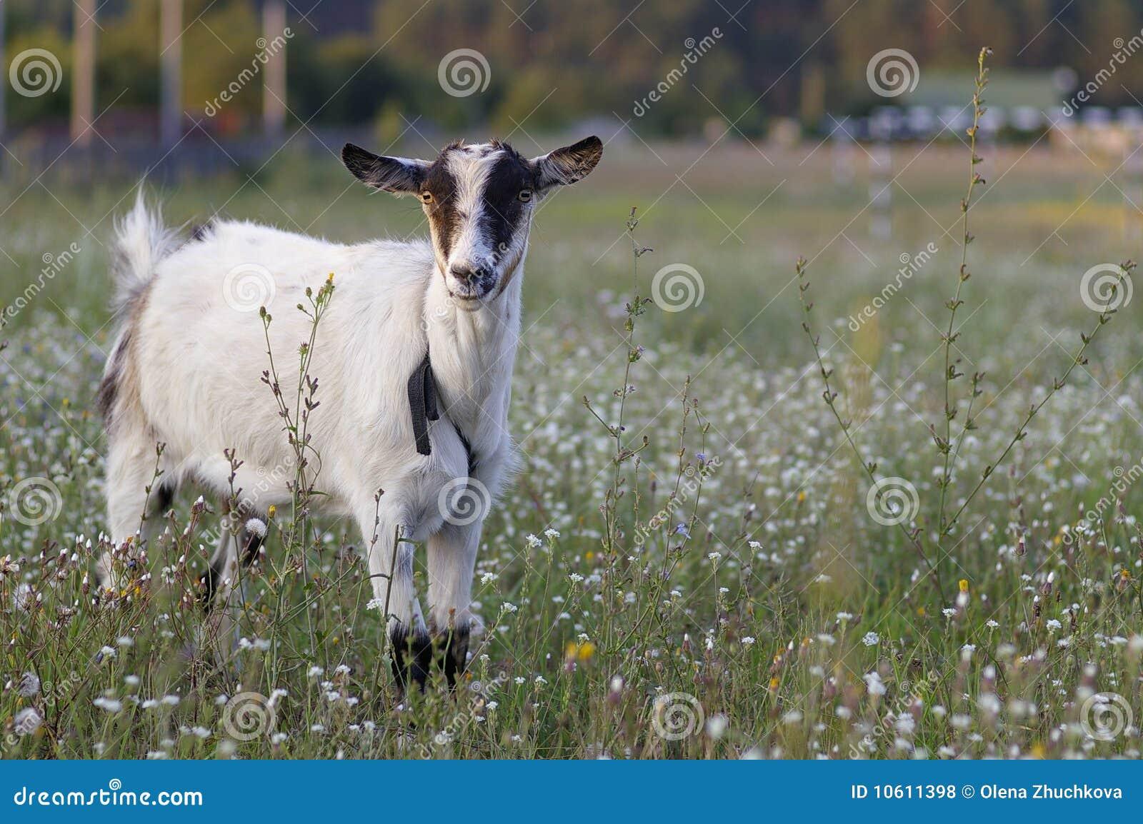 Giovani senza corna della capra
