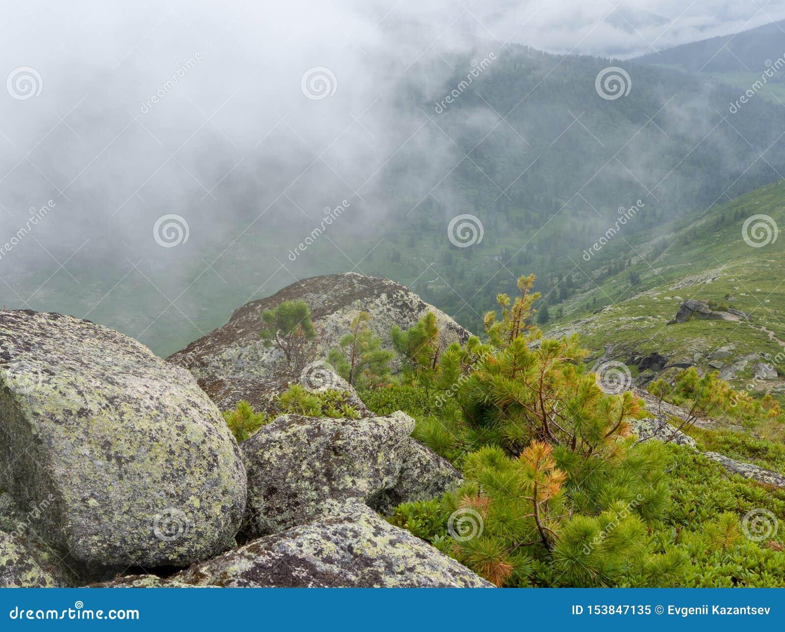 Giovani tiri di cedro fra le rocce alla cima della montagna