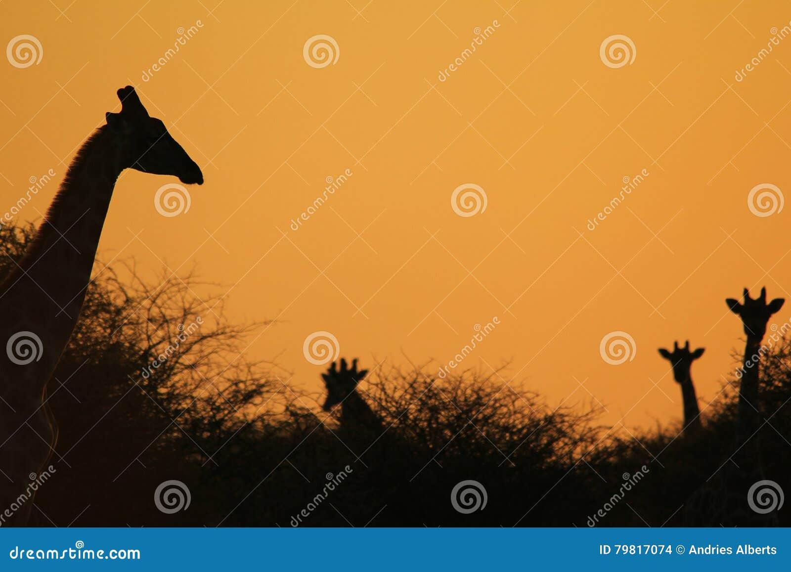 47f7974fa13 Een kleine kudde van Zuidafrikaanse Giraffen stelt in silhouet tegen een  rustige, elegante en mooie zonsonderganghemel, zoals die in de wildernis  van ...
