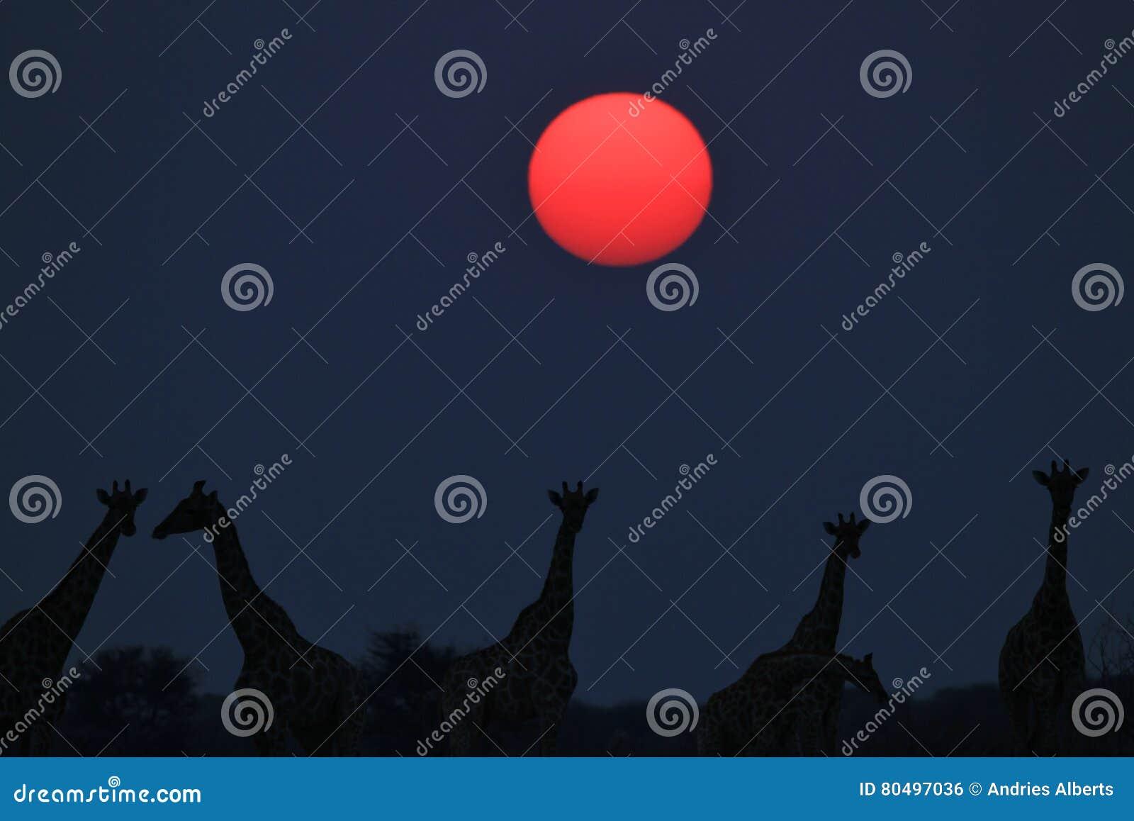 a2e51537e87 Een kleine kudde van Zuidafrikaanse Giraffen stelt in silhouet tegen een  iconische zonsonderganghemel, zoals die in de wildernis van Namibië wordt  gezien, ...