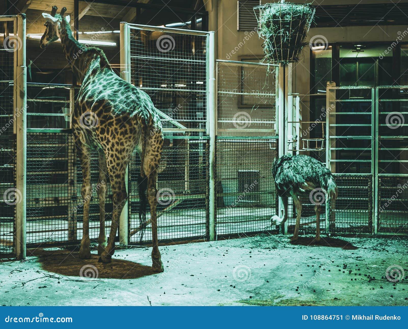 Giraf in de de dierentuindieren en struisvogel