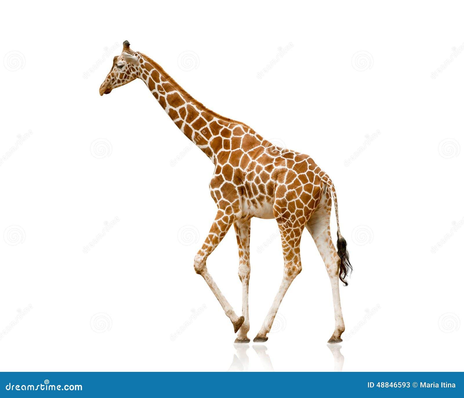 Giraf die op wit wordt geïsoleerdb