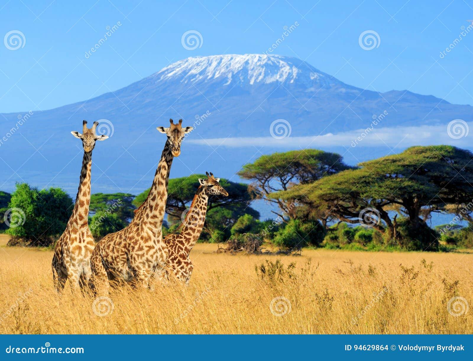 Giraf drie in Nationaal park van Kenia
