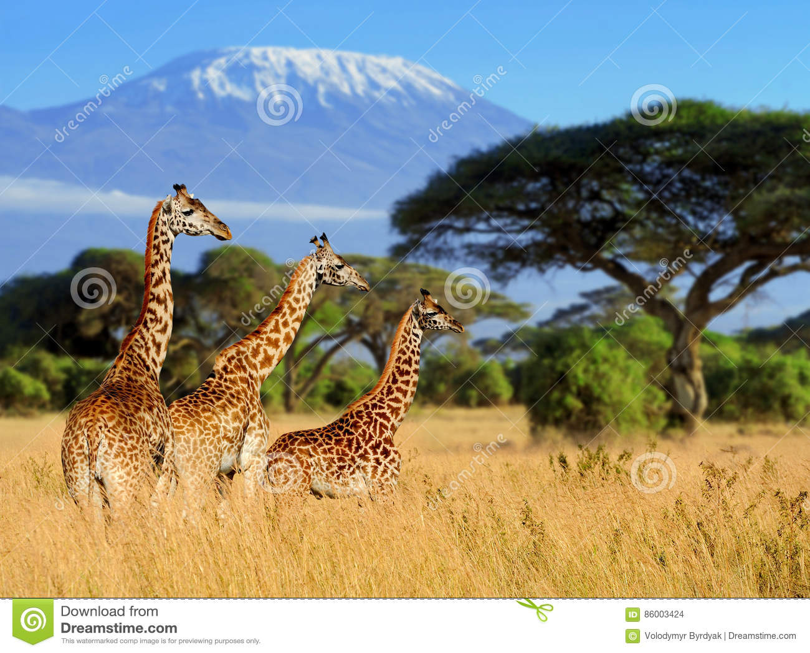 Giraf drie op Kilimanjaro zet achtergrond op