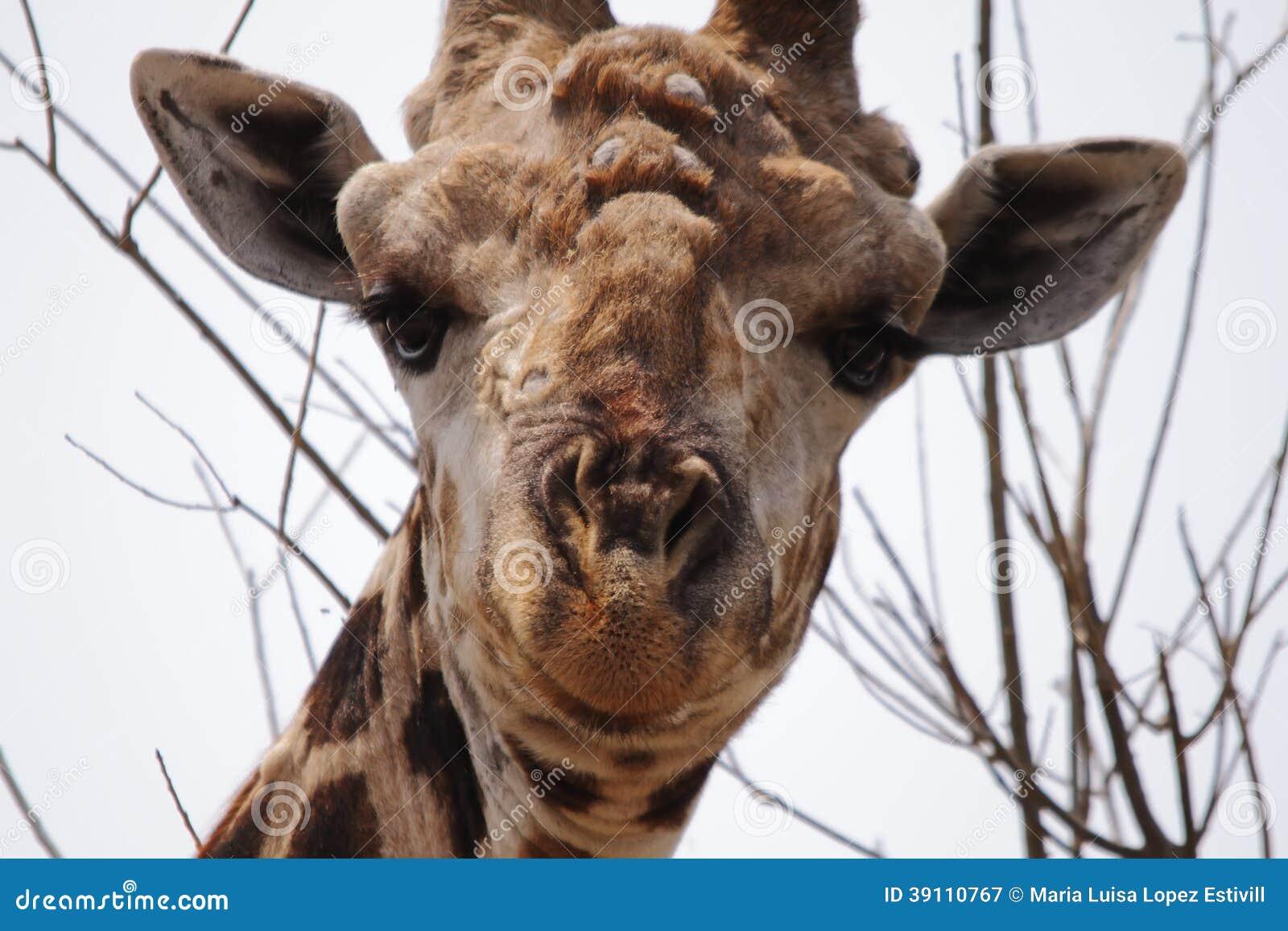 Giraf in het nationale park van Chobe
