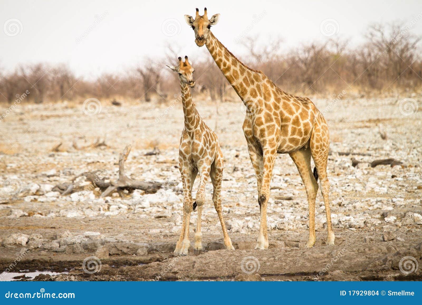 Giraf met baby