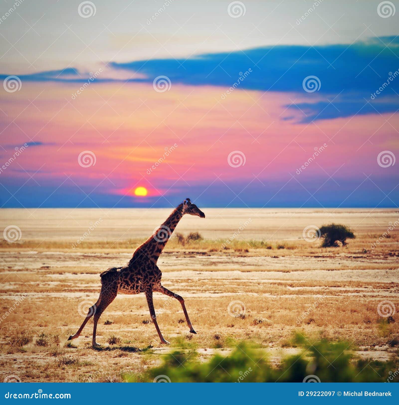 Giraf op savanne. Safari in Amboseli, Kenia, Afrika