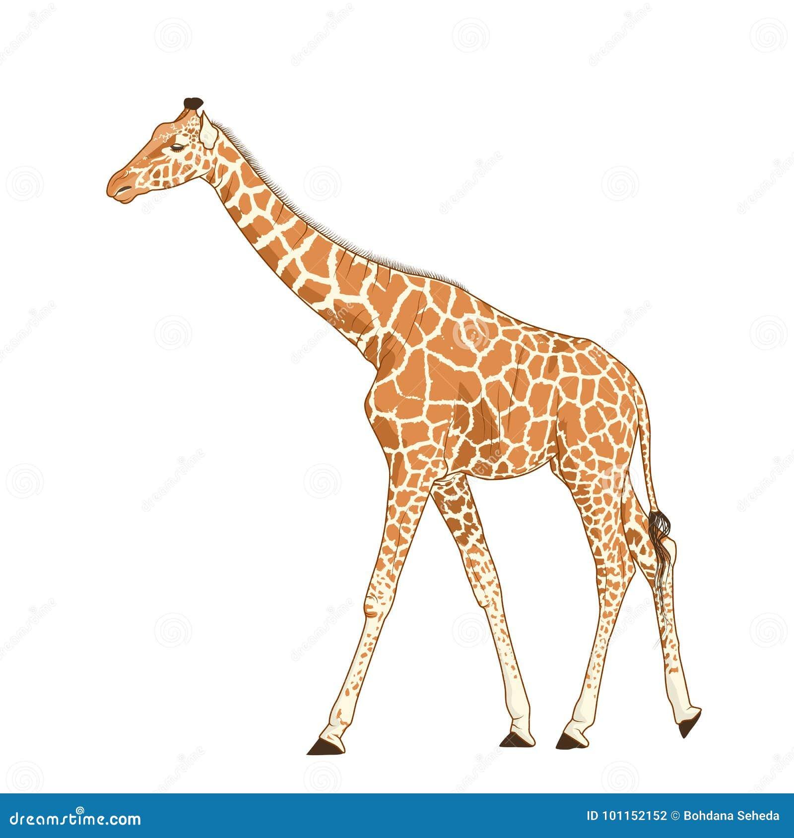 Giraf volwassen dierlijke realistische gedetailleerde tekening