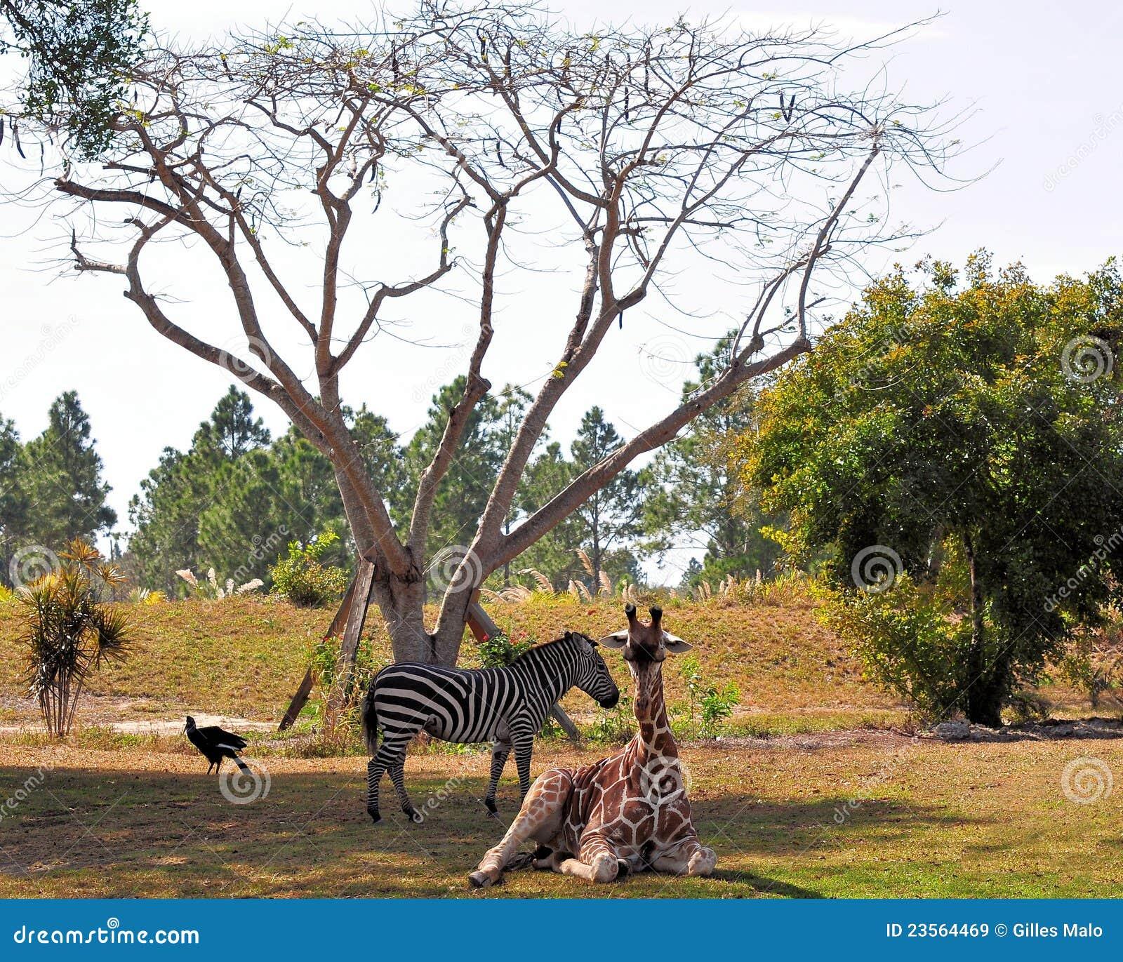 zebra vogel