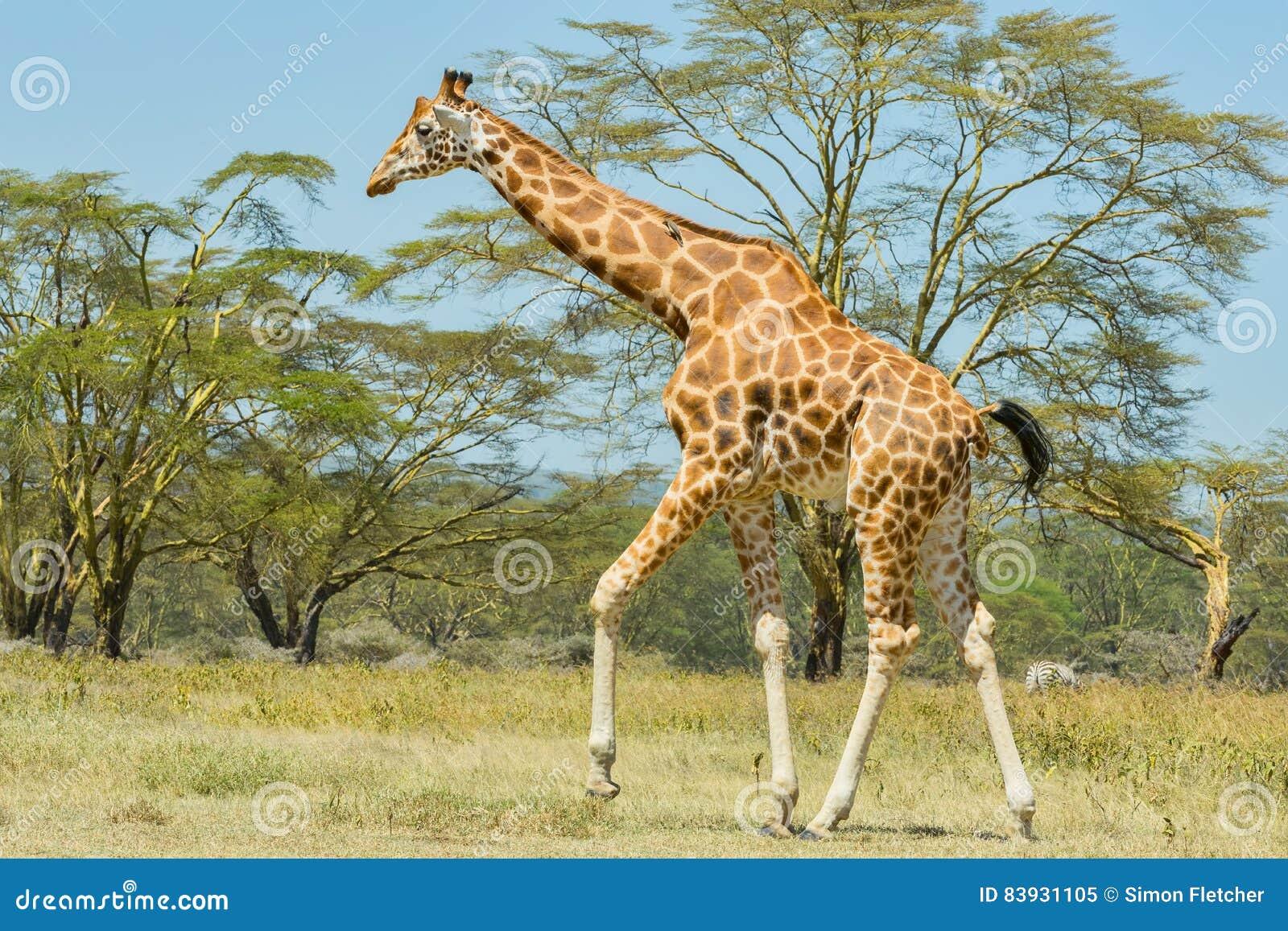 Girafa de Rothschild, andando