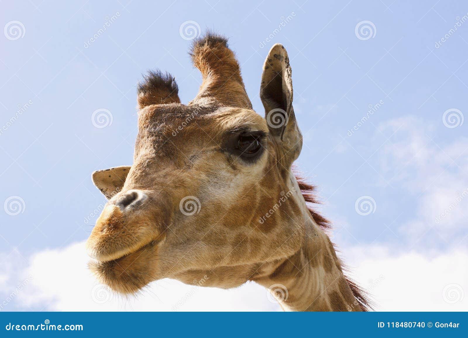 Girafa engraçado da cara com pestanas longas e um pescoço estreito