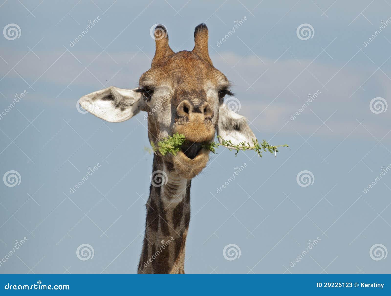 Download Girafa No Parque Nacional De Kruger Imagem de Stock - Imagem de giraffe, engraçado: 29226123