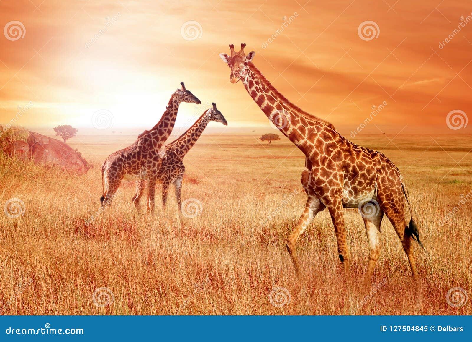 Girafas no savana africano no por do sol Natureza selvagem de África