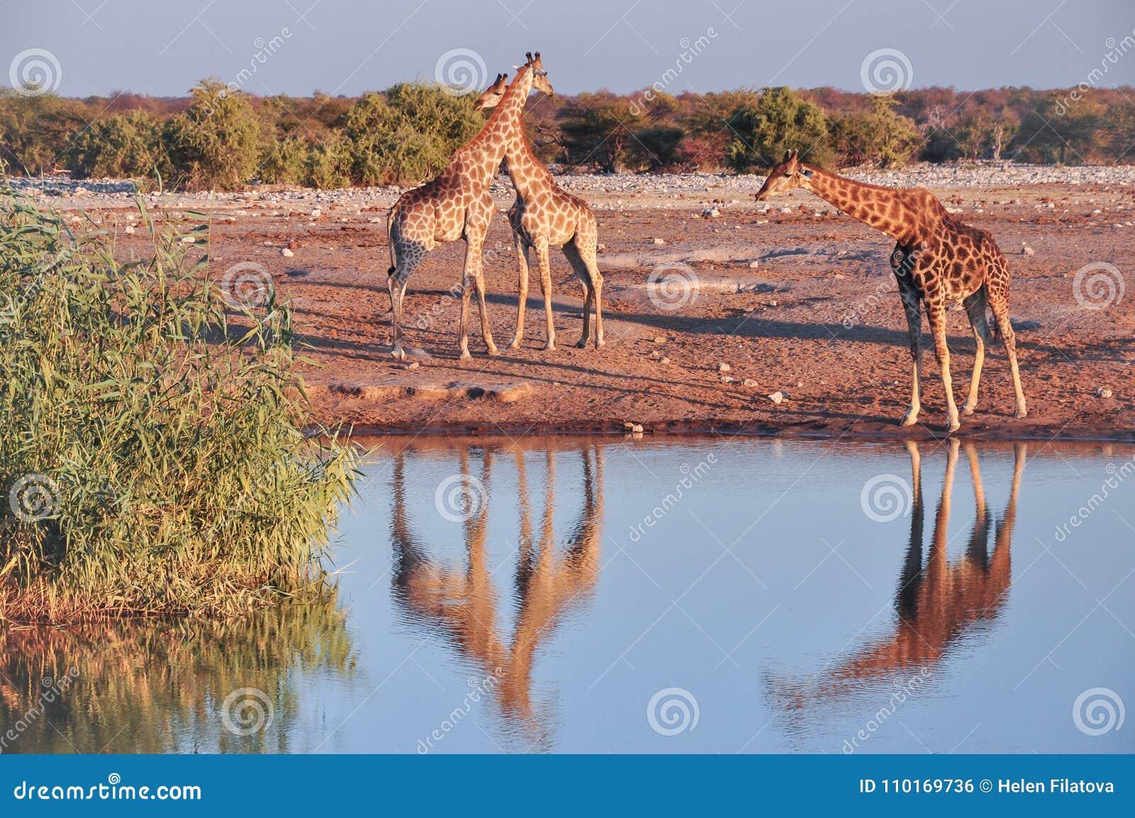 Girafas selvagens no parque nacional de Etosha em Namíbia