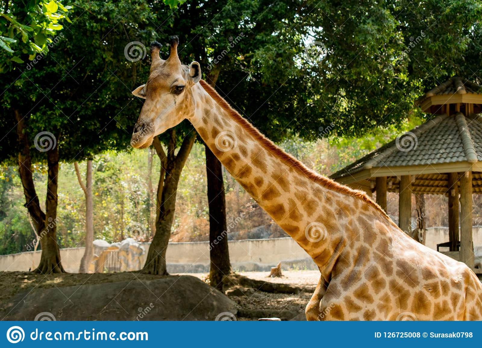 Girafe dans le mammifère de faune de nature