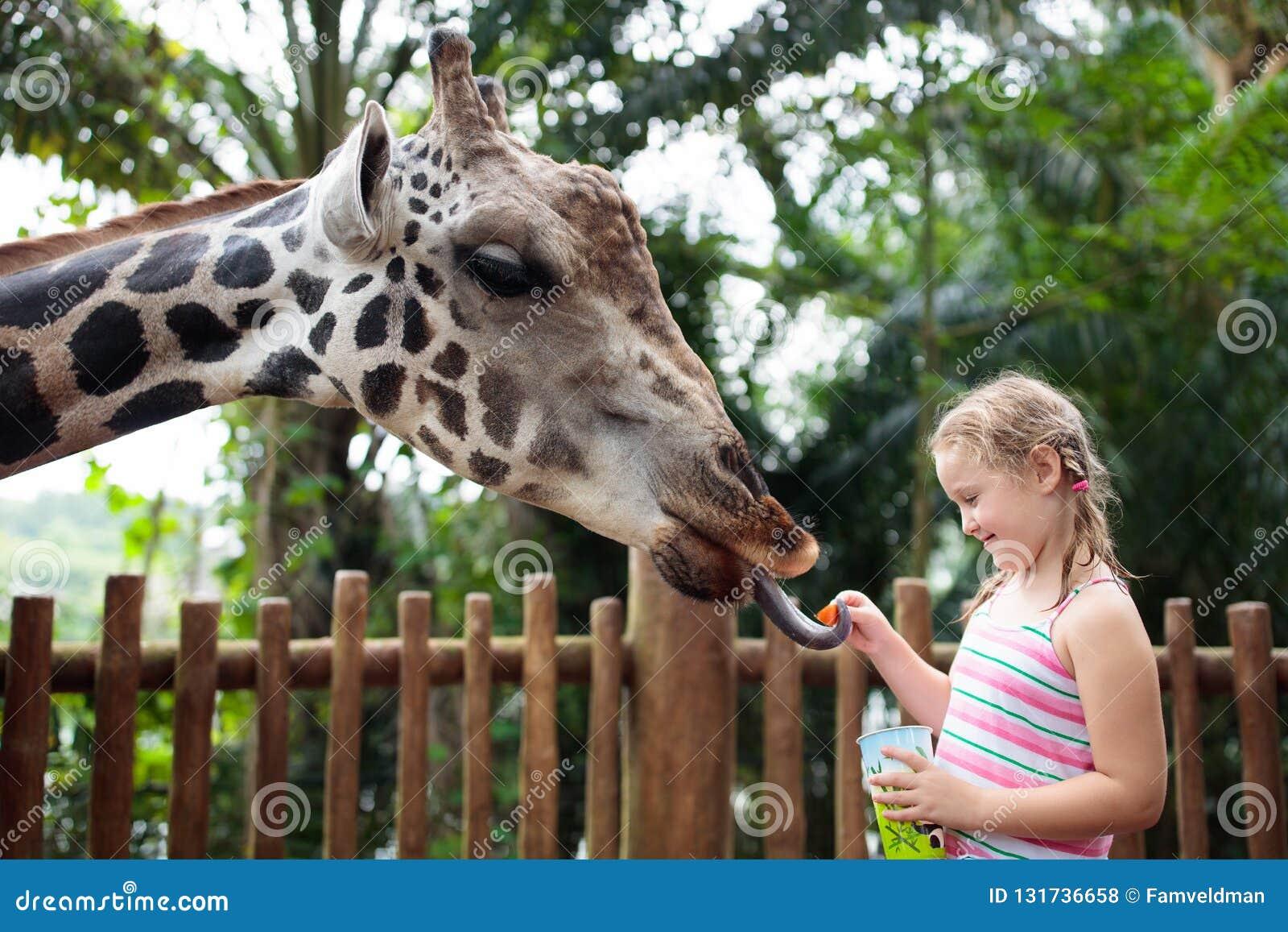 Girafe de alimentation de famille dans le zoo  Animaux de montre d enfants peu