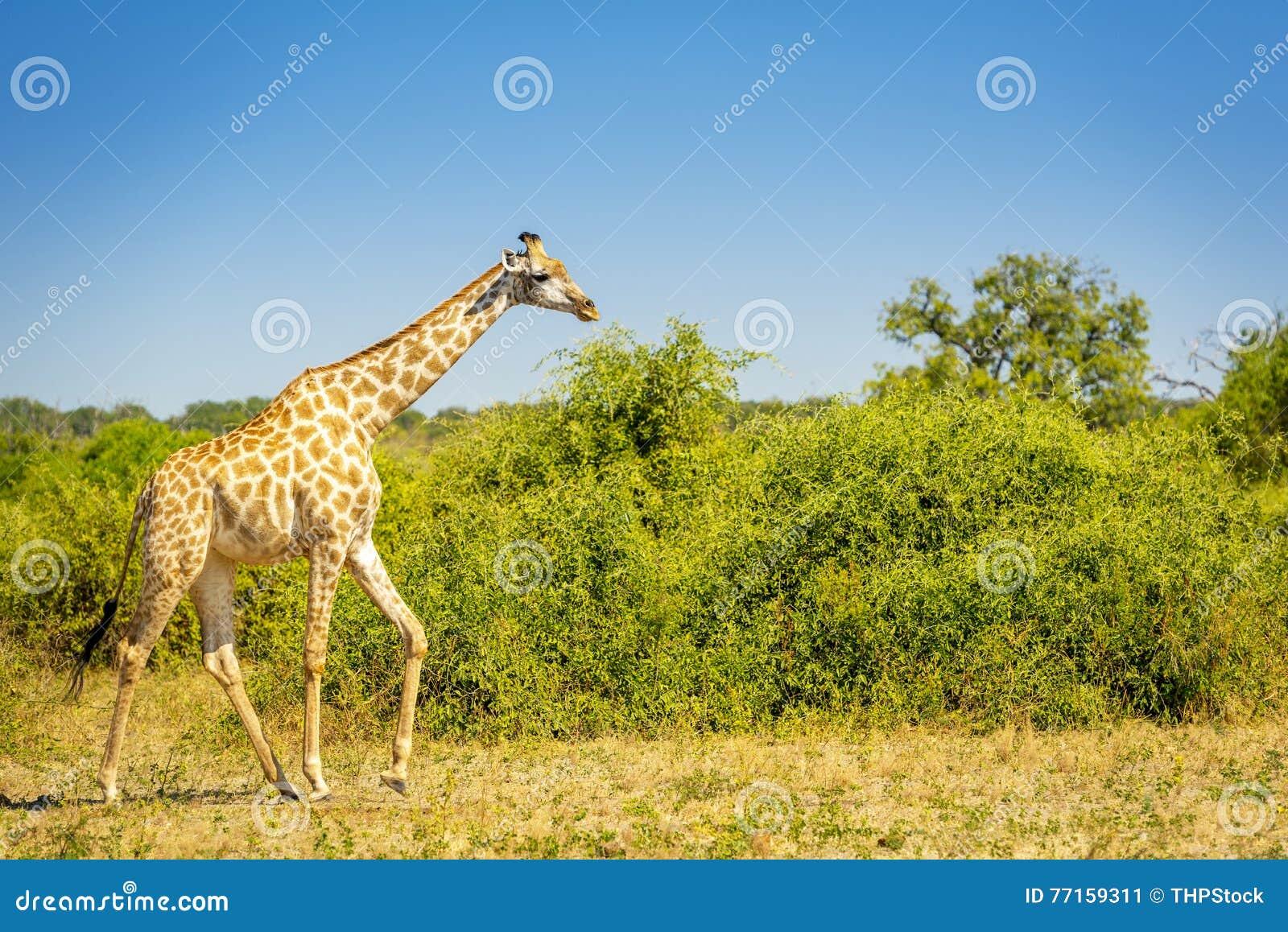 Girafe sauvage en Afrique