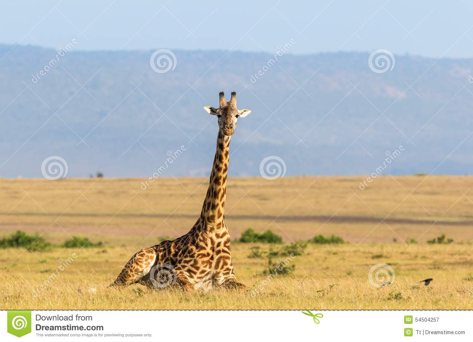 Girafe se couchant sur la savane
