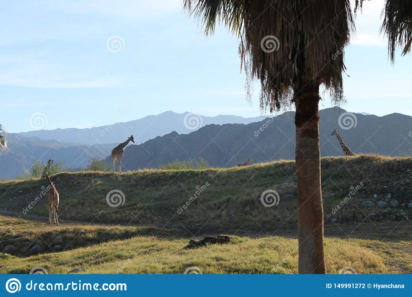 Giraff i Forest Mountain Background