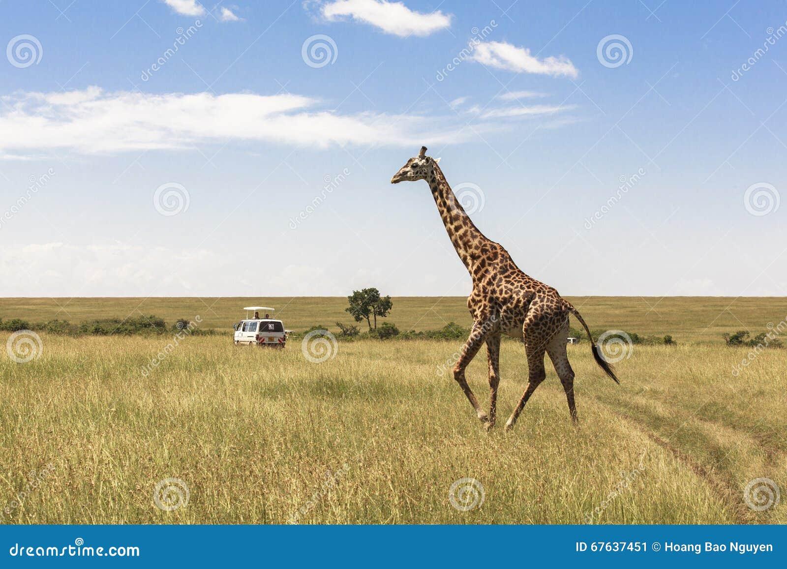 Giraff i Nairobi Kenya